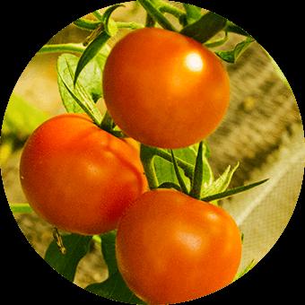 Item tomato